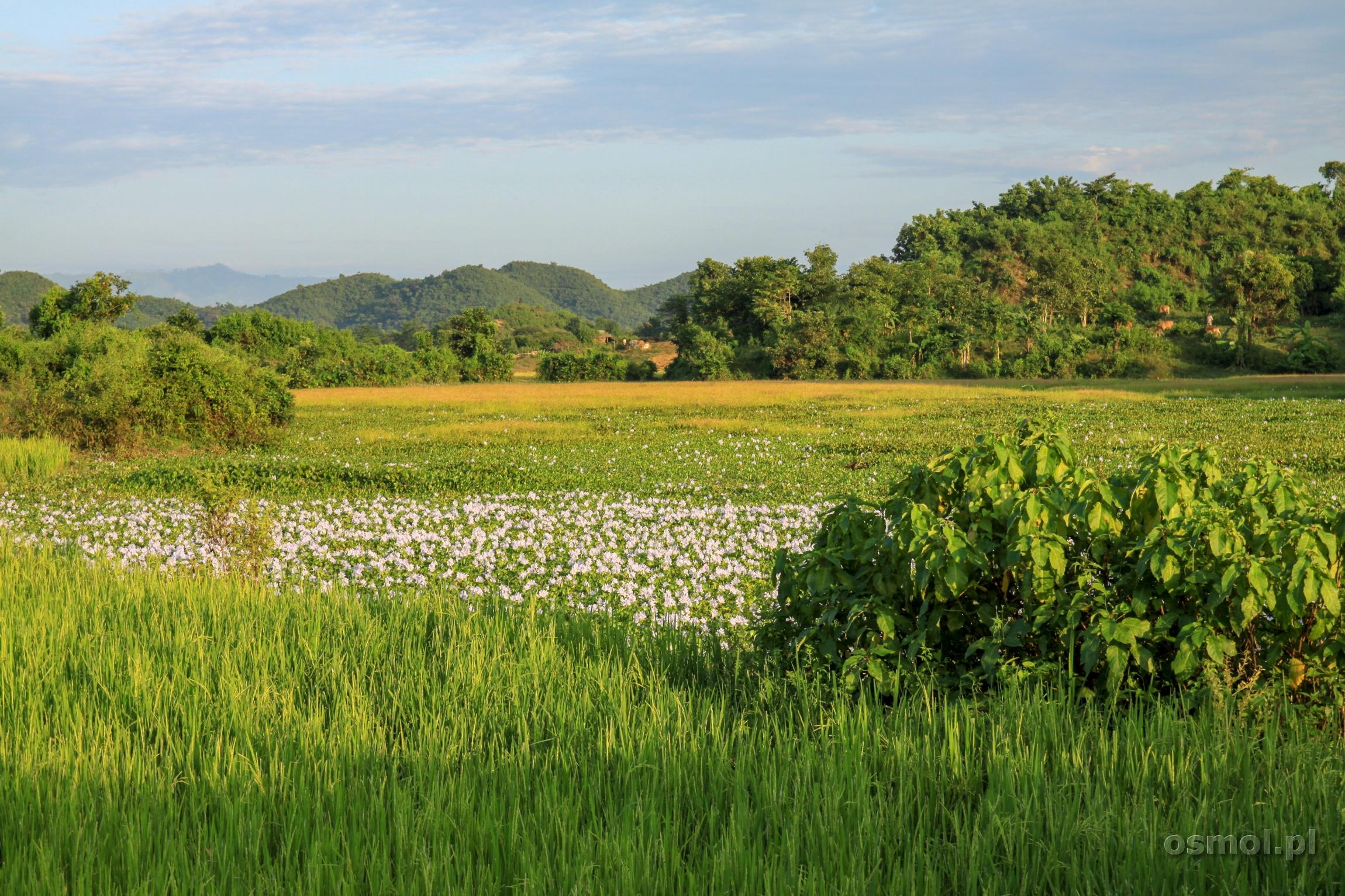 Pole ryżowe i kwiaty w Mrauk U Birma