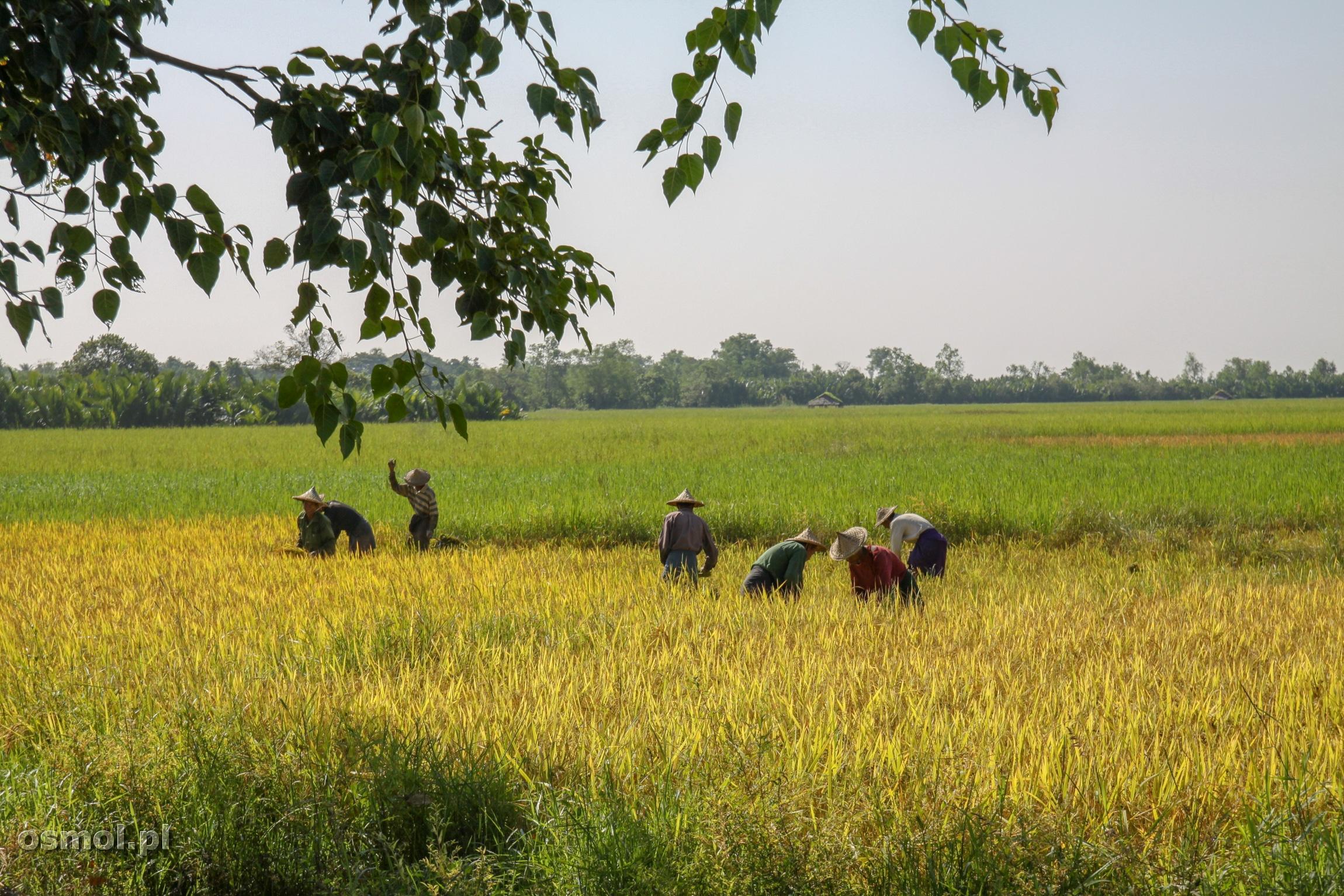 Żniwa ryżu w Birmie