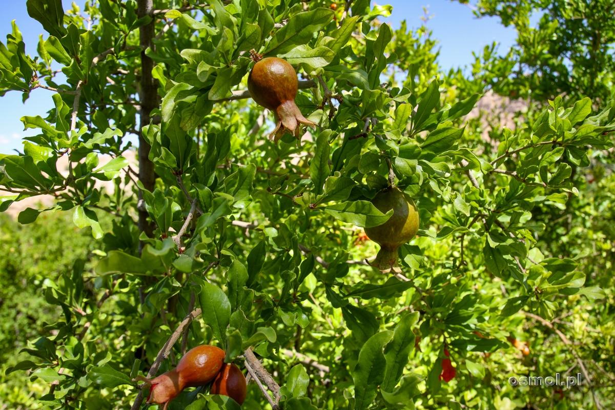 Granaty na drzewie. Oaza Ezmeyghan w Iranie