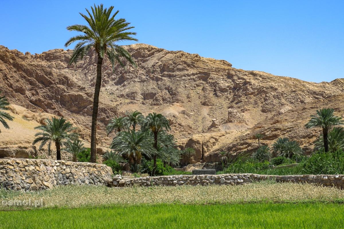 Palmy i pola ryżowe w oazie Ezmeyghan