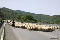 Owce na drodze w Gruzji. Tuż obok twierdzy Ananuri