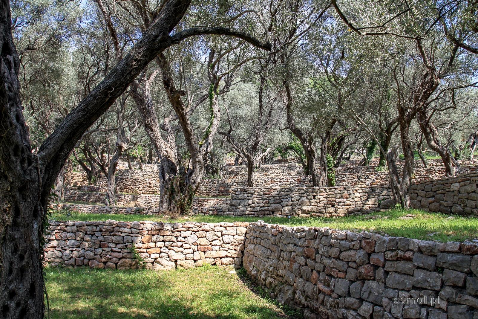 Gaj oliwny przy wyspie Święty Stefan