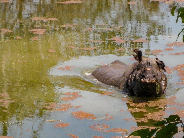 Nosorożec w Parku Narodowym Chitwan