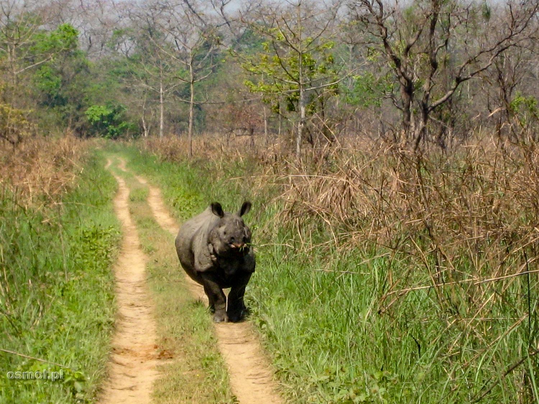 Nosorożec na drodze - Park Narodowy Chitwan