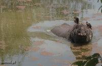 Nosorożec zażywający ochłody w wodzie. Dzień jest upalny, zatem trudno mu się dziwić :)