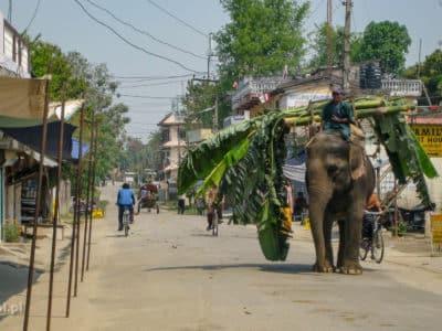 Słoń transportuje palmę w Sauraha - bramie do Parku Narodowego Chitwan