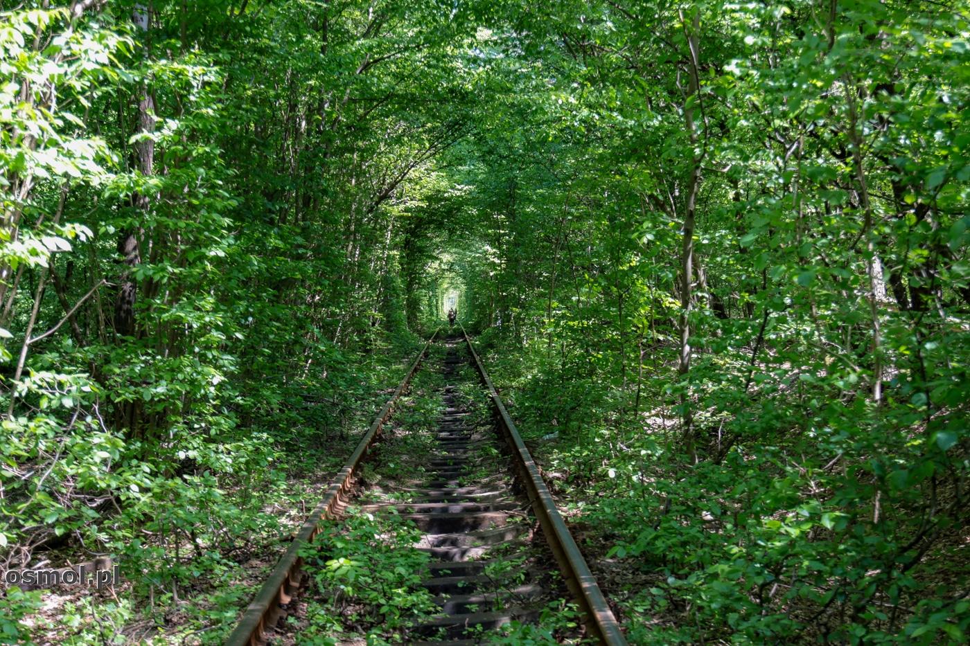 Tunel Miłości w Klewaniu na Ukrainie. Zwany też przez miejscowych Tunelem Kochania powstał dość przypadkowo. Pociąg jeżdżący do pobliskiej cukrowni sprawił, że drzewa utworzyły naturalny korytarz.
