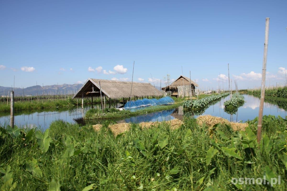 Pływające ogrody na jeziorze Inle. Tu uprawia się np pomidory i inne warzywa, które później sprzedawane są na targach.