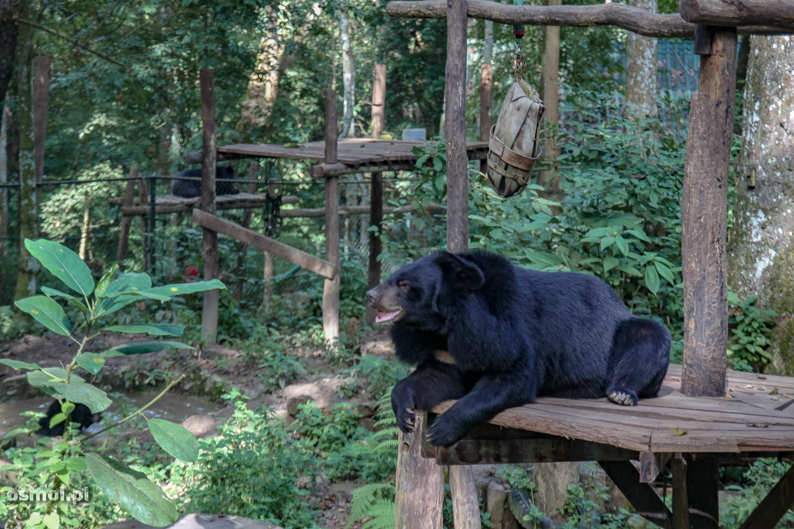 Niedźwiedzie w parku obok wodospadu Kuang Si - Laos