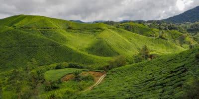 Herbaciane pola Cameron Highlands Malezja