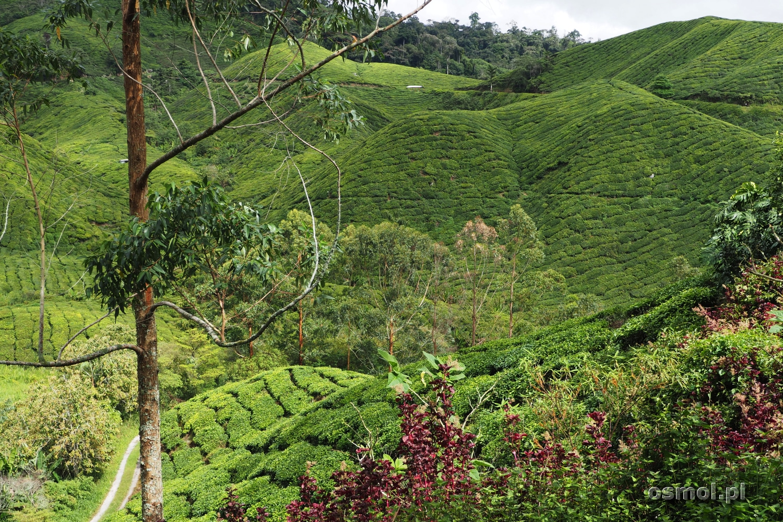 Plantacja Herbaty BOH w Cameron Highlands