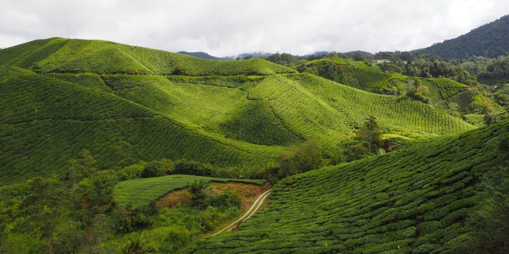 Herbaciane wzgórza Cameron Highlands w Malezji