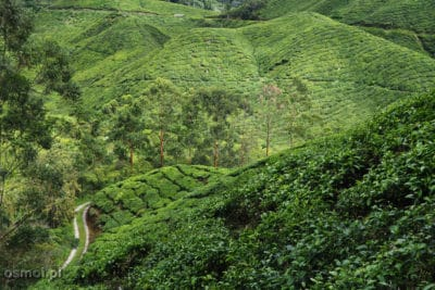 Herbaciane krzewy porastają malownicze wzgórza Cameron Highlands