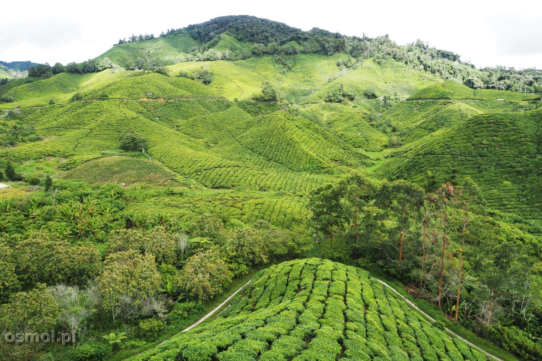 Plantacja Herbaty w Malezji