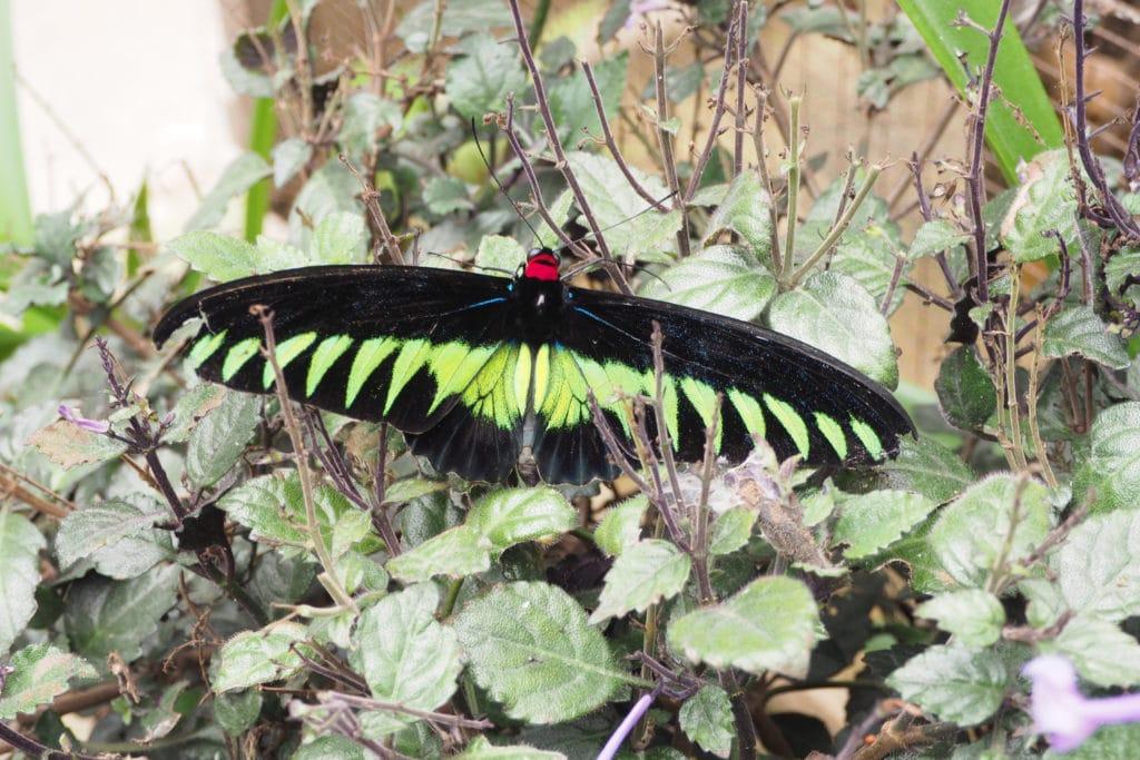 Motyl na Plantacji motyli w Cameron Highlands
