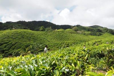 Zdjęcie na plantacji herbaty Cameron Highlands