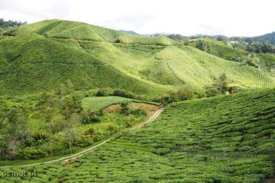 Wzgórza z plantacjami herbaty w Malezji