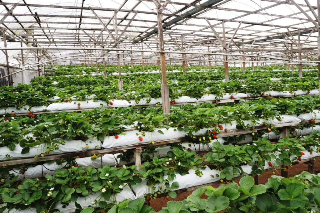 Cameron Highlands plantacja truskawek