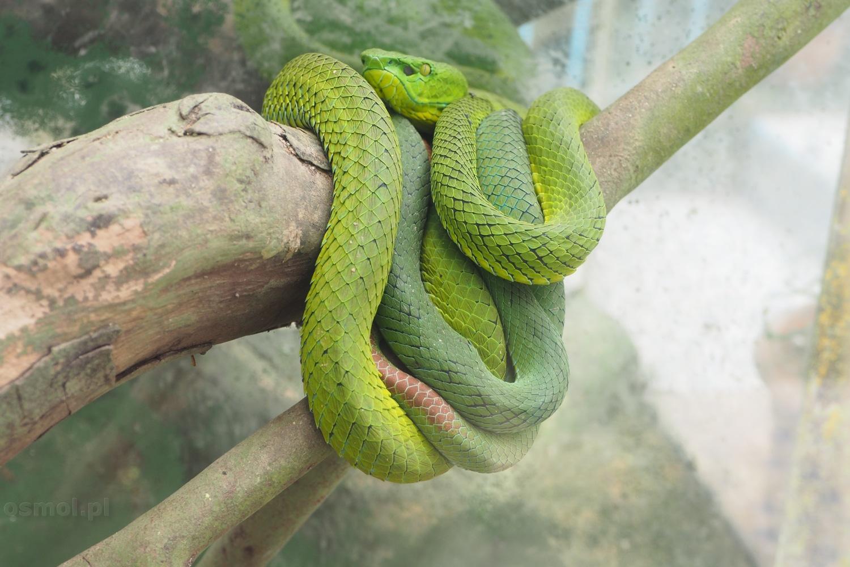 Wąż na plantacji motyli w Cameron Highlands