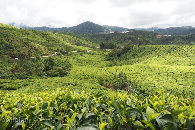 Wzgórza Cameron Highlands w Malezji