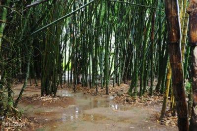 Ogród botaniczny w Pyin Oo Lwin - Birma. Las bambusowy