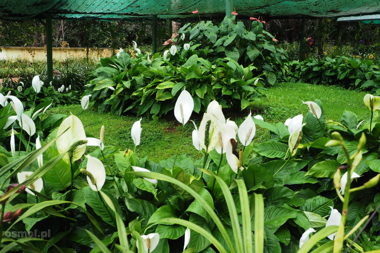 Orchidee w ogrodzie botanicznym Pyin Oo Lwin w Birmie