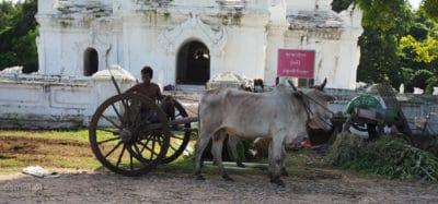 Wóz zaprzężony w woła w Birmie