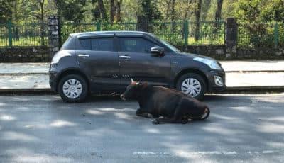 Krowa na ulicy w Pokharze