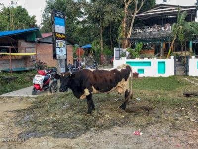 Krowy to stały element w Pokharze. Chodzą po ulicach, jak to święte krowy :)