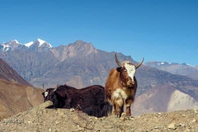 Jaki w Himalajach obok wioski Muktinah