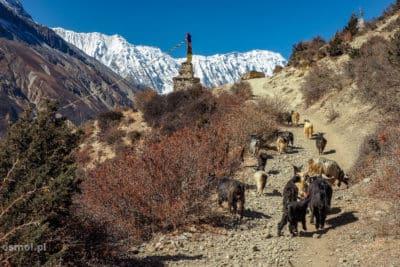 Kozy na szlaku w Himalajach.