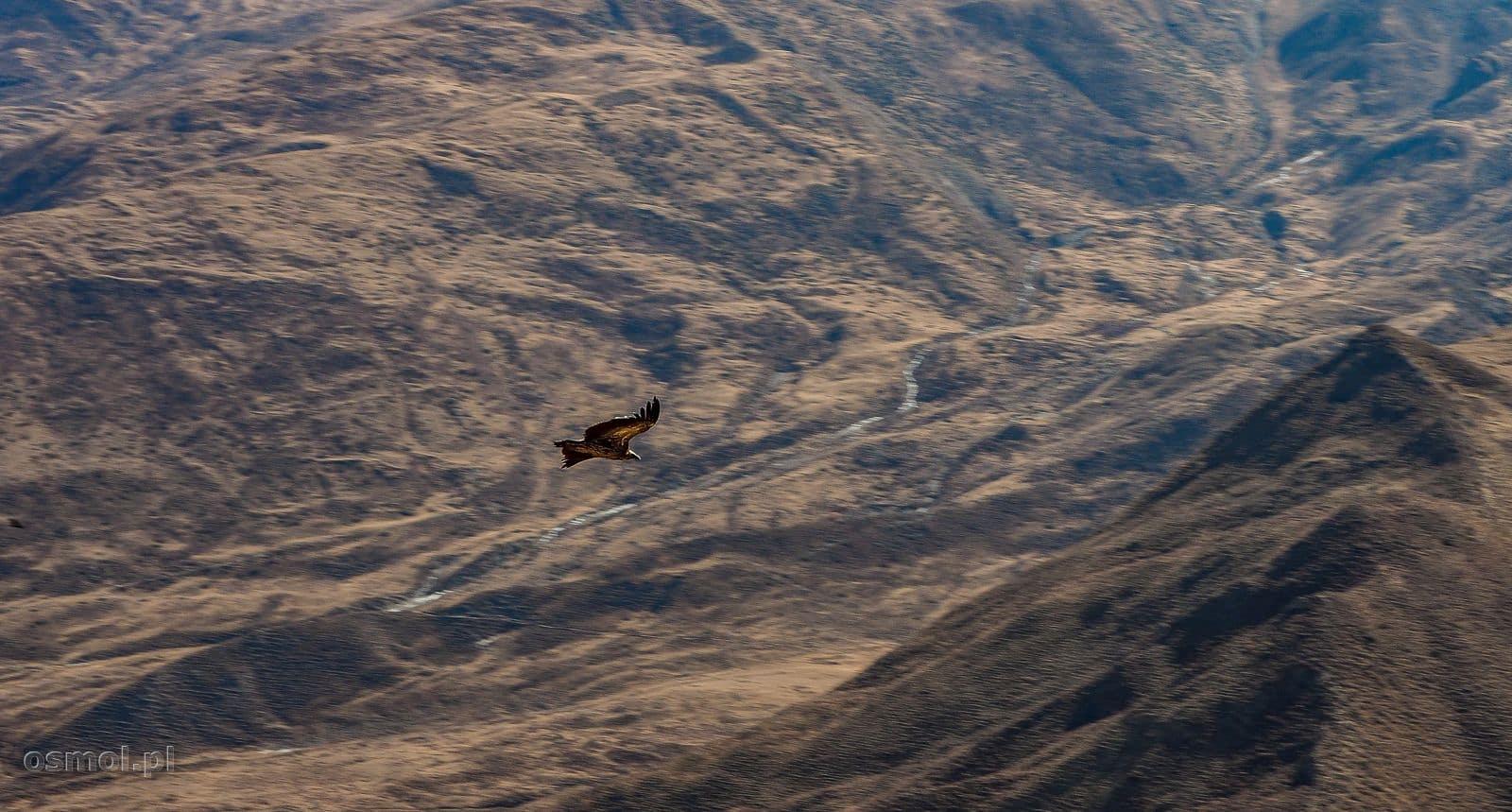 Ptak szybuje w Himalajach
