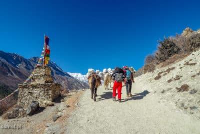 Transport towarów na szlaku dookoła Annapurny. Co ciekawe, nie widziałem karawan złożonych z jaków. Widziałem osły oraz mocne kuce.
