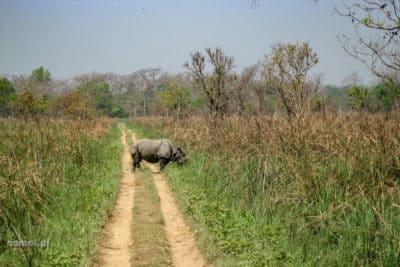 Nosorożec w parku Chitwan w Nepalu