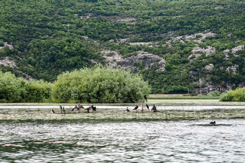Kormorany na Jeziorze Szkoderskim