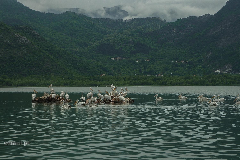 Pelikany na Jeziorze Szkoderskim