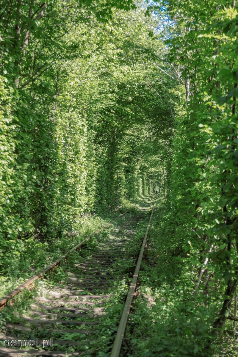 Drzewa nad Tunelem Miłości w Klewaniu. Ukraina