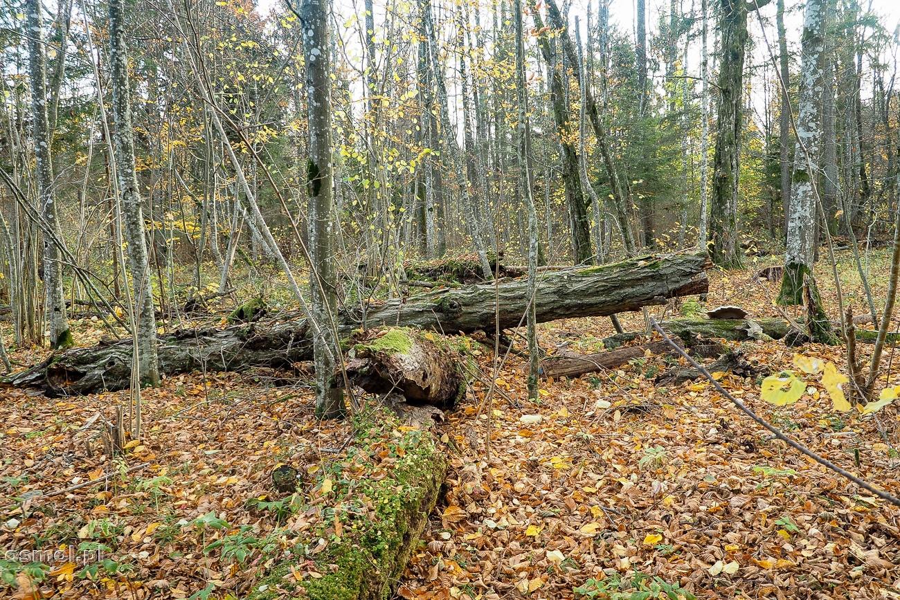 Butwiejące drzewa w Puszczy Białowieskiej