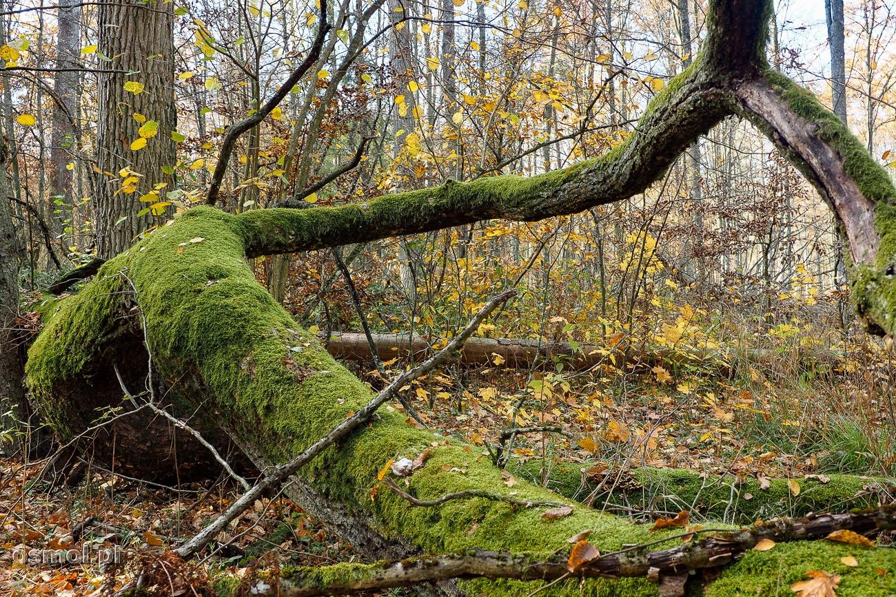 Zmurszałe drzewo w Puszczy Białowieskiej. Martwe drewno zapewnia obieg materii w przyrodzie, na jego próchnie za chwile wyrośnie coś nowego