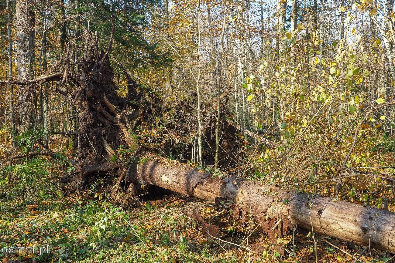 Wyrwane przez wiatr drzewo w Białowieży