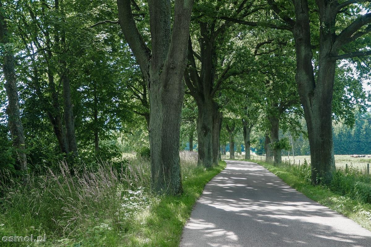 Droga z Pieniężna do Chwalęcina wiedzie oczywiście aleją drzew. Tu jedziemy w cieniu potężnych dębów.