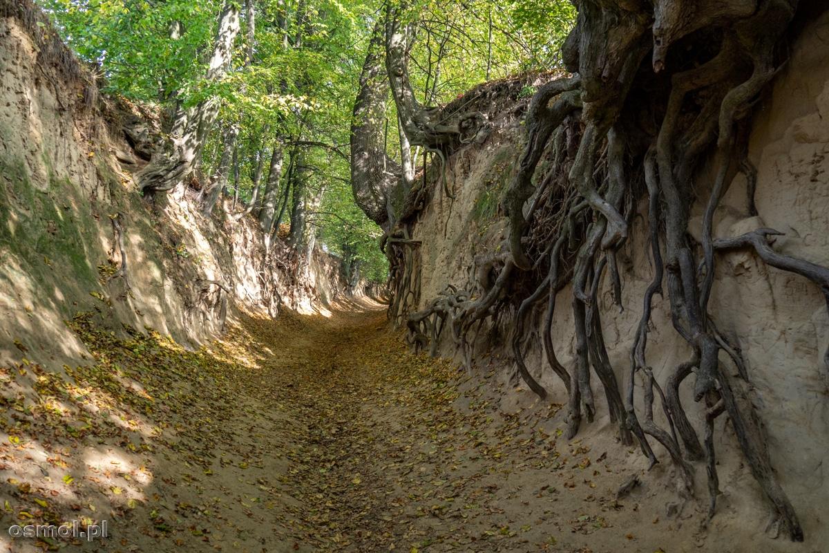 Korzenie drzew w Korzeniowym Wąwozie w Kazimierzu Dolnym