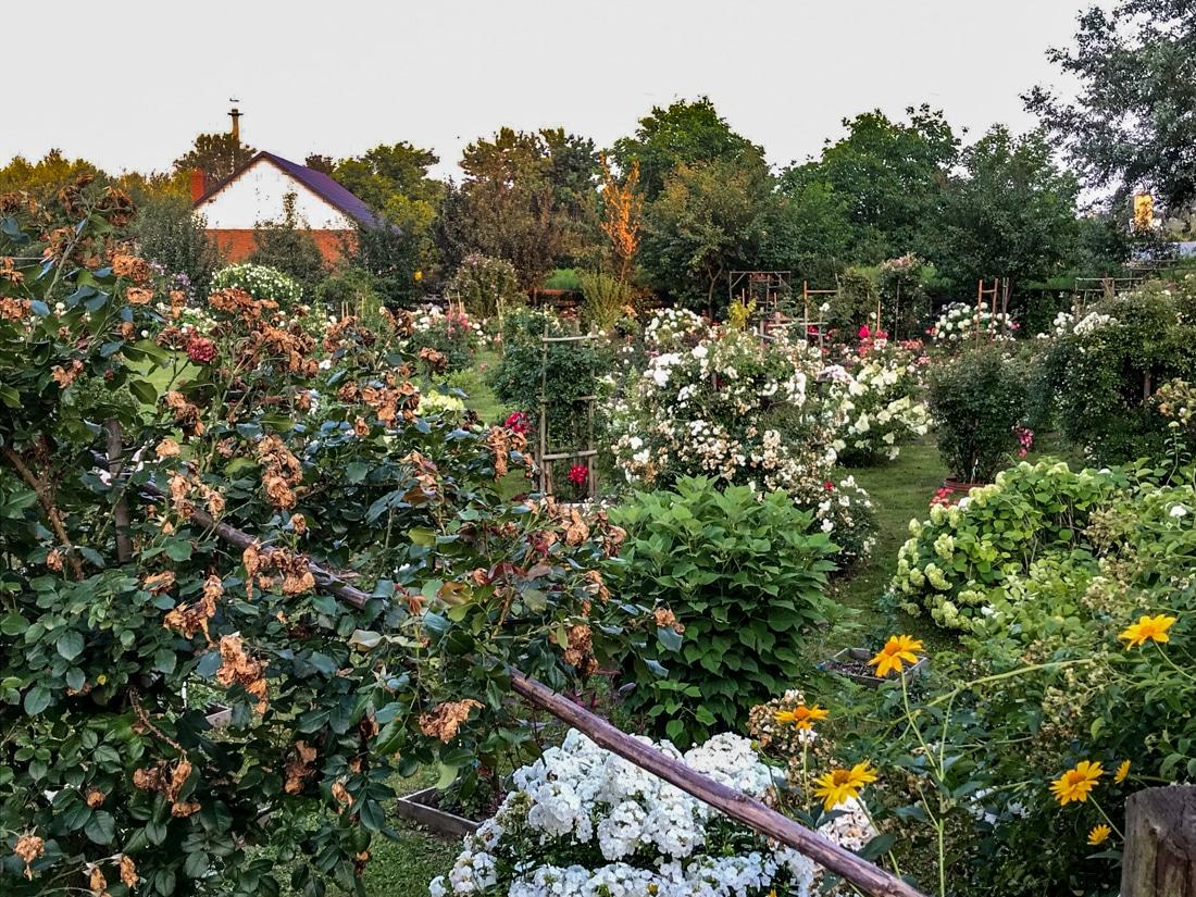 Piękny ogród różany na obrzeżach Sandomierza